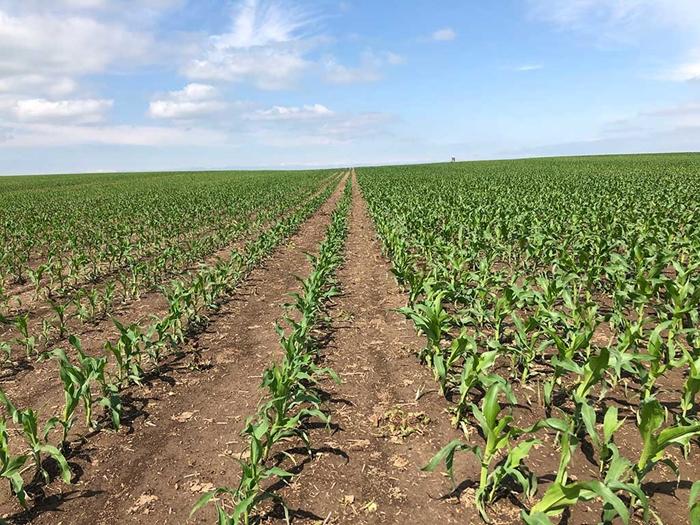 Porost-kukurice-zalozeny-technologii-uzkoradkoveho-seti-1.jpg